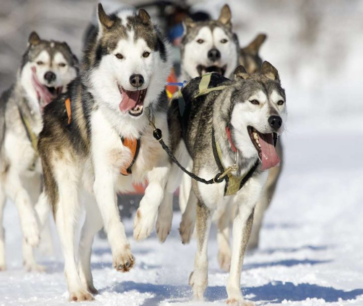 Husky dog sledding Latvia