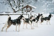 Husky sledding tour Latvia